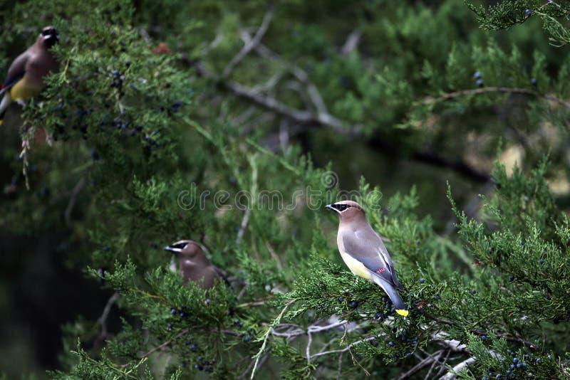 Drei Cedar Waxwing Birds In Cedar Baum lizenzfreie stockbilder