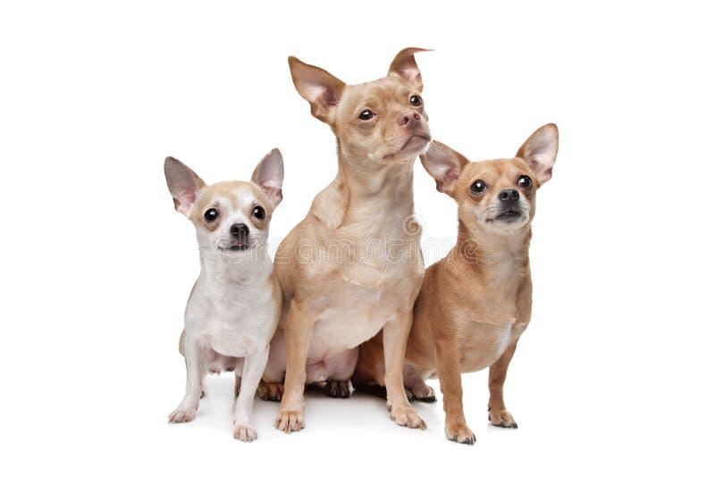 Drei Chihuahuahunde lizenzfreie stockfotografie