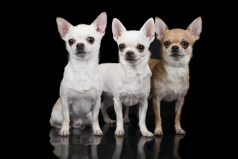 Drei Chihuahuahunde lizenzfreies stockbild