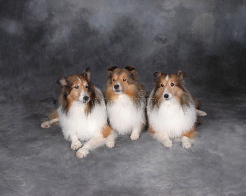 Drei Collien stockbilder