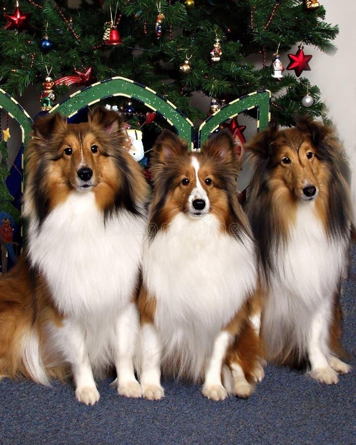 Drei Collien vor einem Weihnachtsbaum stockfoto