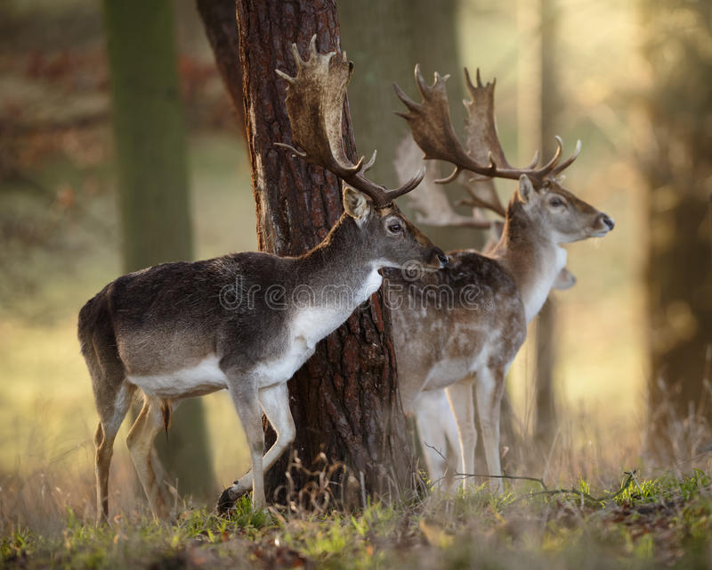 Drei Damhirsch-Hirsche in einem Holz stockfotografie