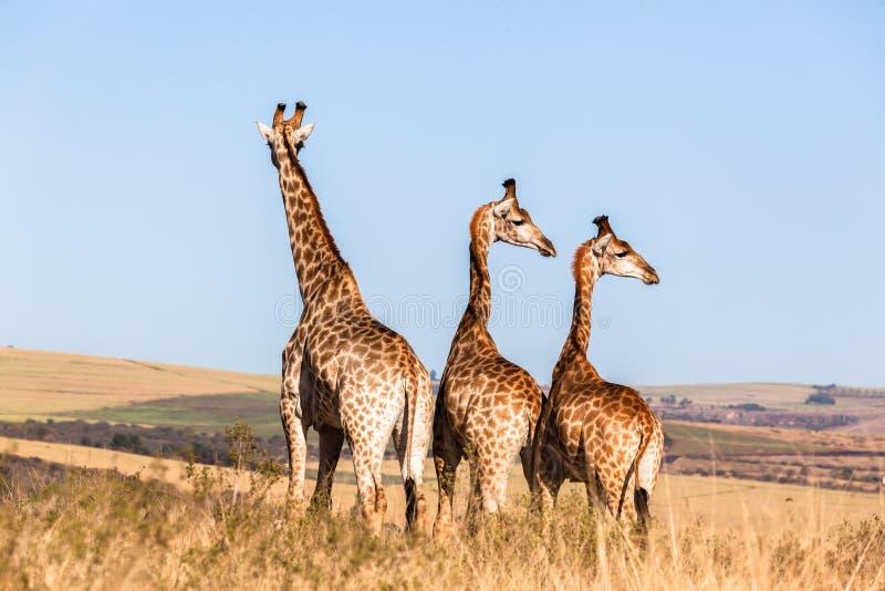 Drei der Giraffen-Tiere zusammen wild lebenden Tiere lizenzfreie stockbilder