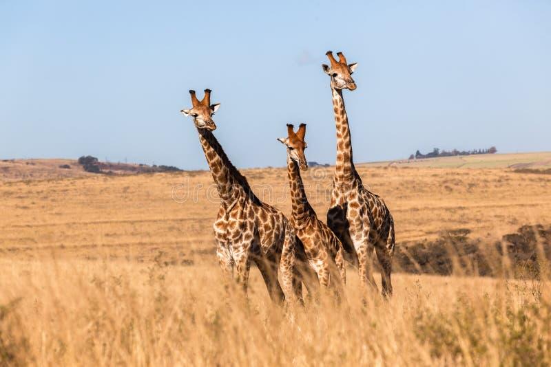 Drei der Giraffen-Tiere zusammen wild lebenden Tiere lizenzfreies stockfoto