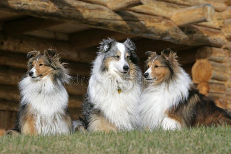 Drei die Shetlandinseln-Schäferhunde lizenzfreie stockfotos