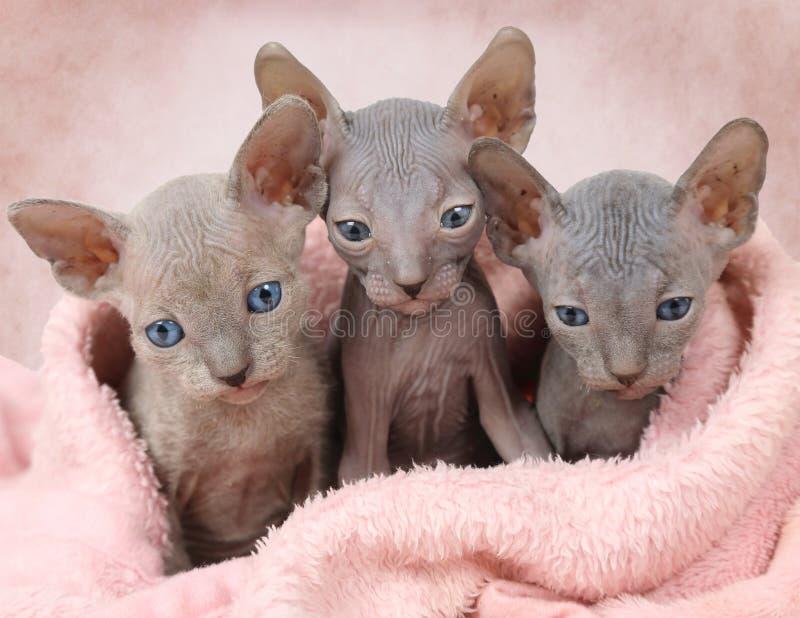 Drei Don Sphinx-Miezekatzen in einem Bett stockbild