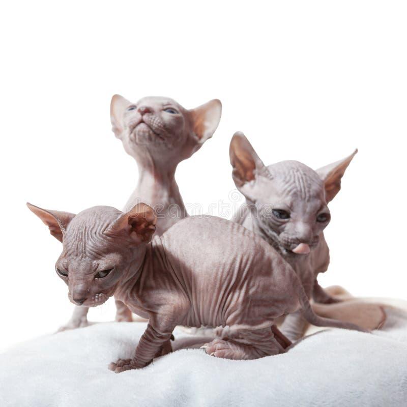 Drei Don-sphynx Kätzchen stockfotos
