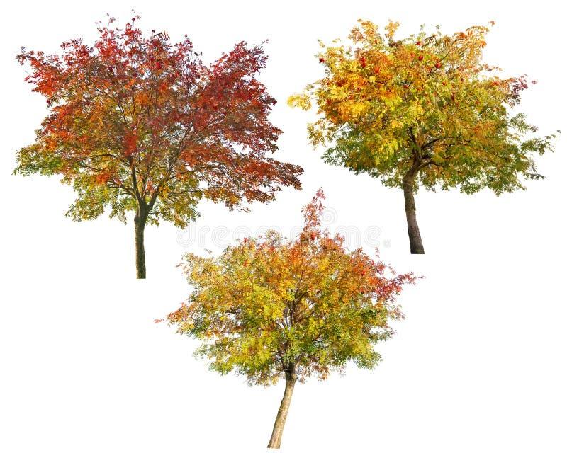 Drei Ebereschenbäume mit den Beeren lokalisiert auf Weiß stockbilder