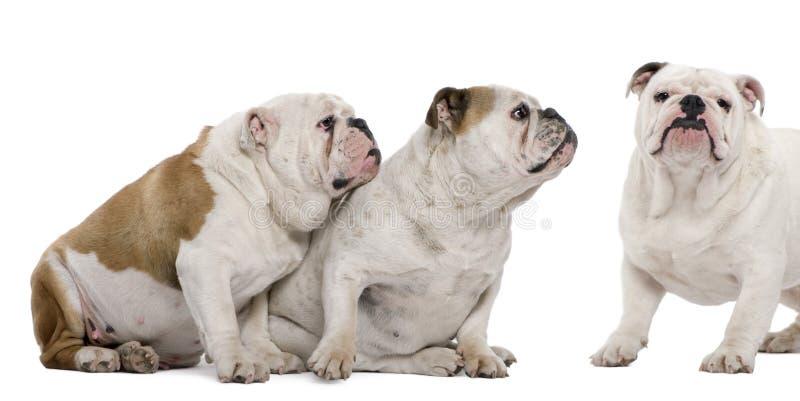 Drei englische Bulldoggen lizenzfreies stockbild
