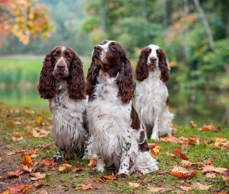 Drei englischer Springer-Spaniele, die auf dem Gras sitzen Rot und Orange färbt Efeublattnahaufnahme lizenzfreie stockfotos