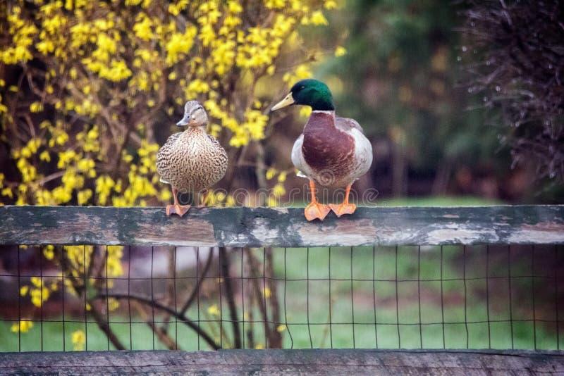 Drei Enten stockbild