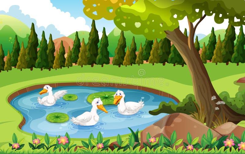 Drei Enten, die im Teich schwimmen vektor abbildung