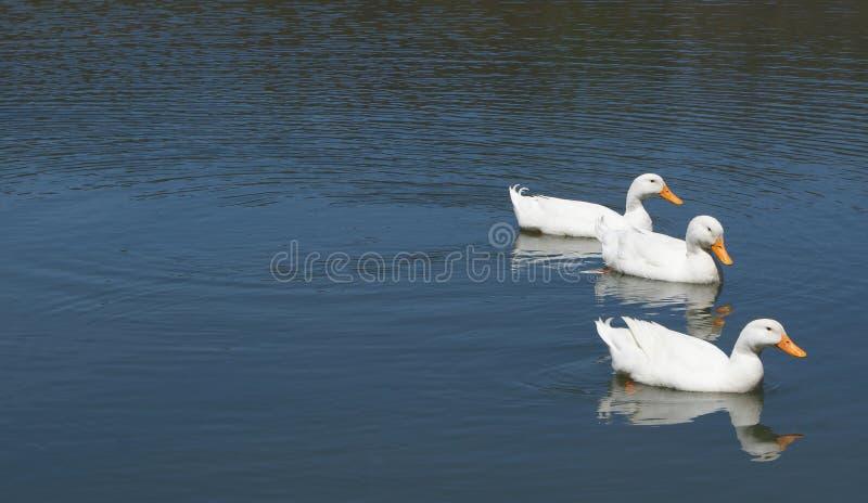 Drei Enten in Folge stockbild