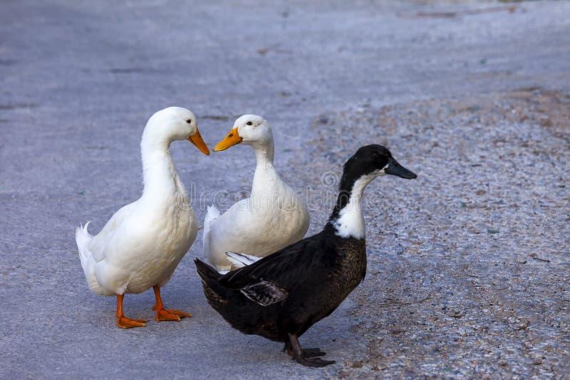 Download Drei Enten-Gehen stockbild. Bild von frech, abschluß - 90232867