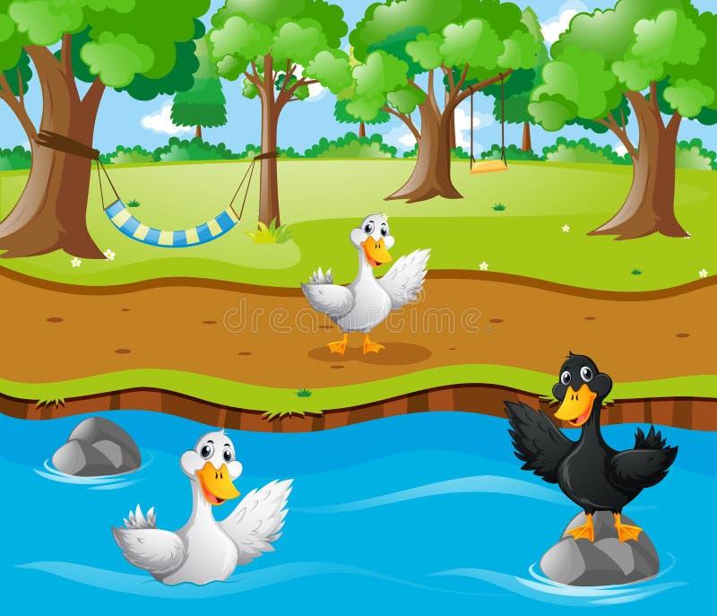 Drei Enten im Fluss lizenzfreie abbildung