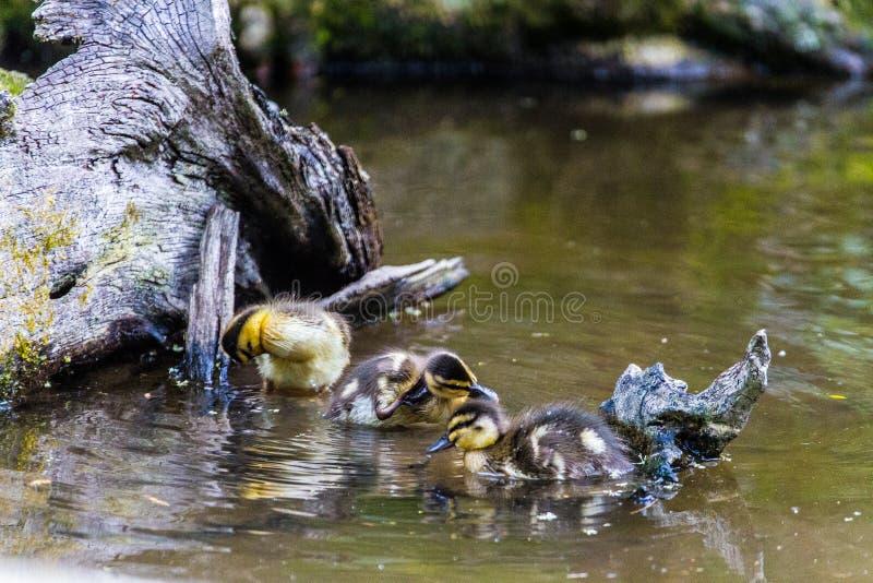 Drei Entlein, die in einen kleinen Teich einziehen lizenzfreie stockfotografie