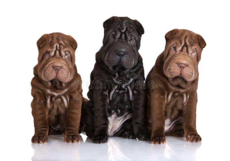 Drei entzückende shar pei Welpen lizenzfreies stockfoto