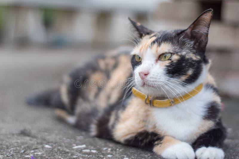 Drei-Farbmischkatzen stockfoto