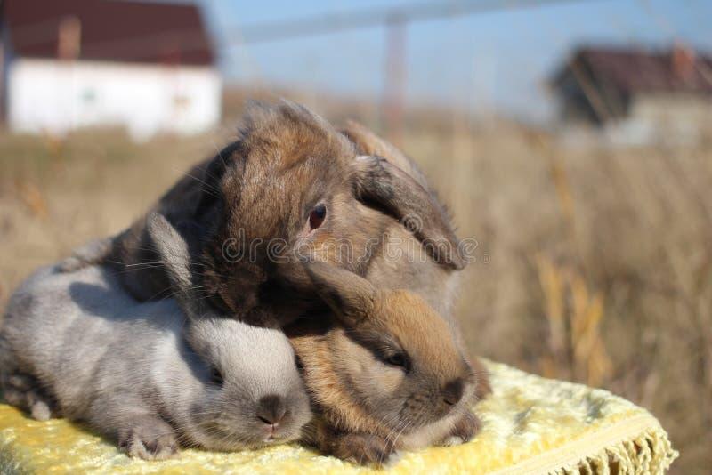 Drei flaumige Häschen, die zusammen Kaninchenhäschen nette Haustiere sitzen lizenzfreies stockbild
