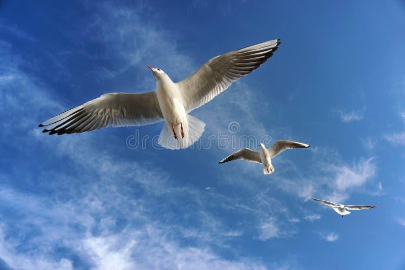 Drei fliegende Seemöwen in der Luft lizenzfreies stockfoto