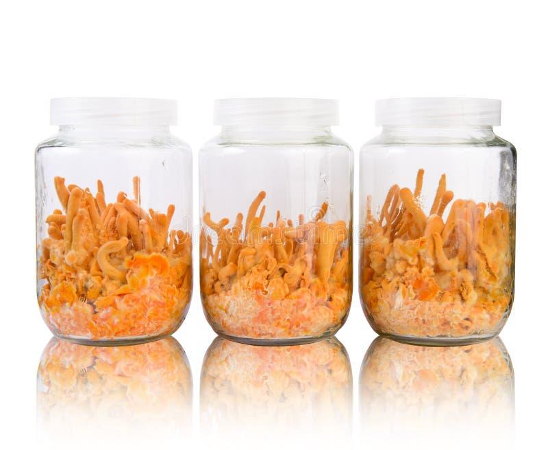 Drei frisches Cordyceps in den Glasflaschen stockfotografie