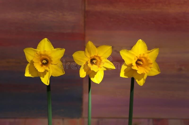 Drei gelbe Narzissenblumen - Narzisse lizenzfreie stockbilder