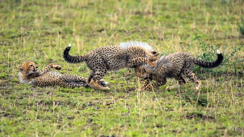 Drei Gepardjunge, die auf Savanne spielen stockbild