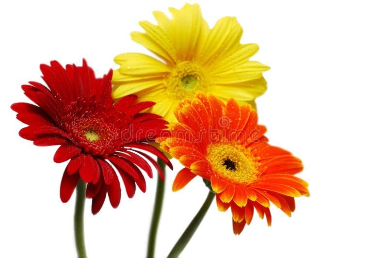 Drei gerber Blumen stockfotos