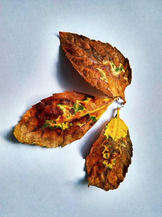 Drei getrocknete Blätter Mispel auf einem weißen Hintergrund lizenzfreies stockbild