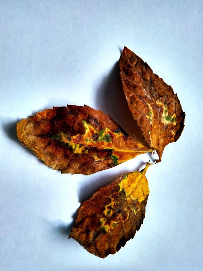 Drei getrocknete Blätter Mispel auf einem weißen Hintergrund stockbild