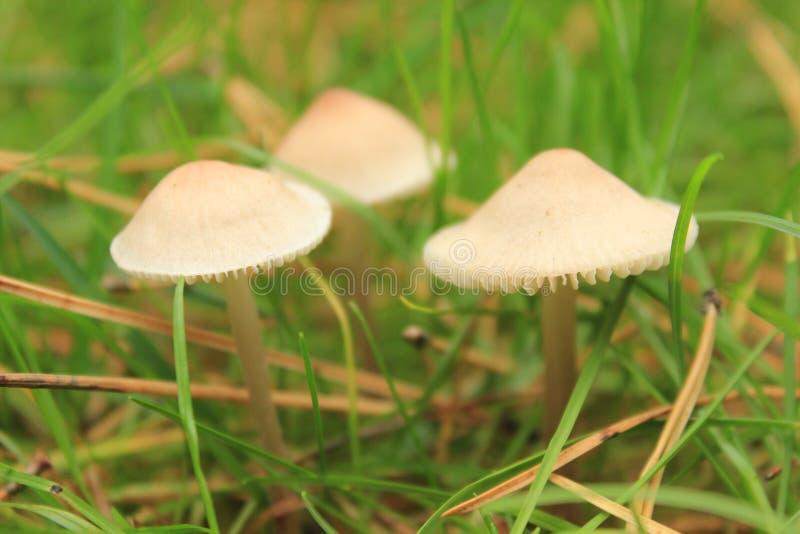 Drei giftige Pilzgiftpilze in Form der Regenschirme lizenzfreie stockbilder