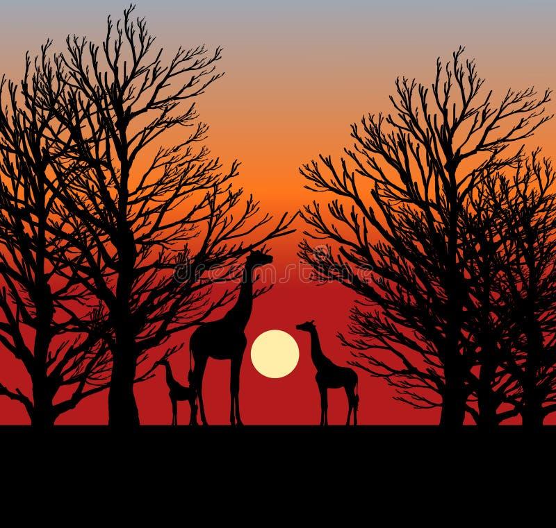 Drei Giraffen im Sonnenuntergang in Afrika vektor abbildung