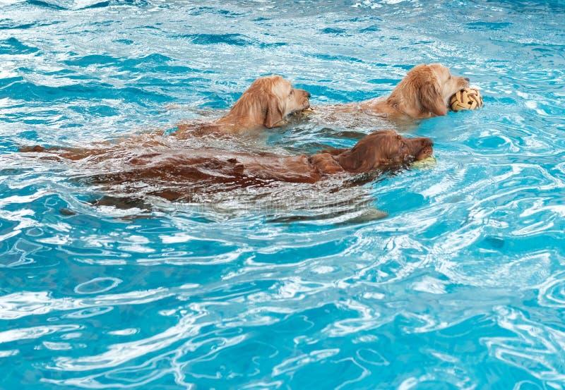Drei golden retriever-Hunde, die im Pool schwimmen stockfoto