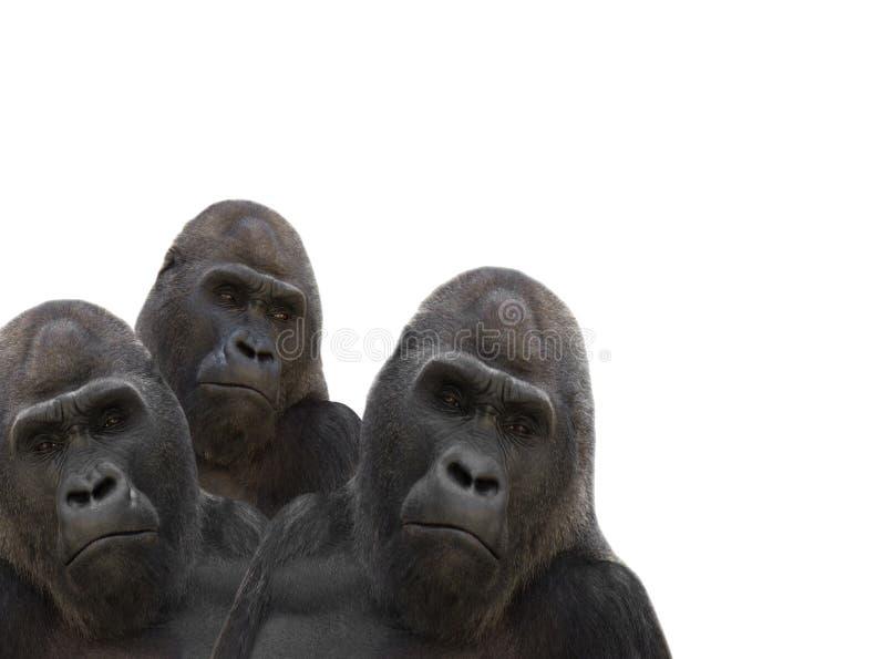 Drei Gorillas stockfotografie