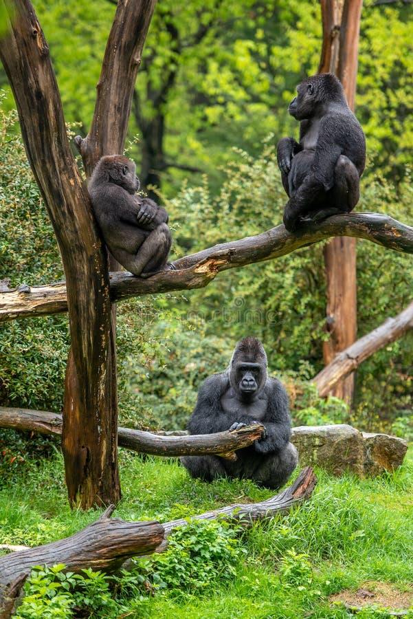 Drei Gorillas betrachten einander in der Ruhe lizenzfreie stockfotografie