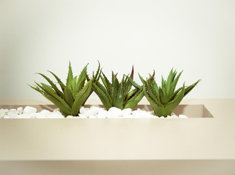 Drei Grüne Aloe Vera Pflanzen stockfotos
