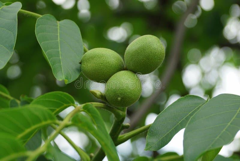 Drei grüne Nüsse in einem blumigen Baum mit Blättern stockfoto