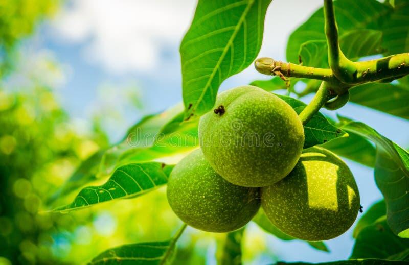 Drei grüne Nüsse in einem blumigen Baum mit Blättern in der Natur stockfoto