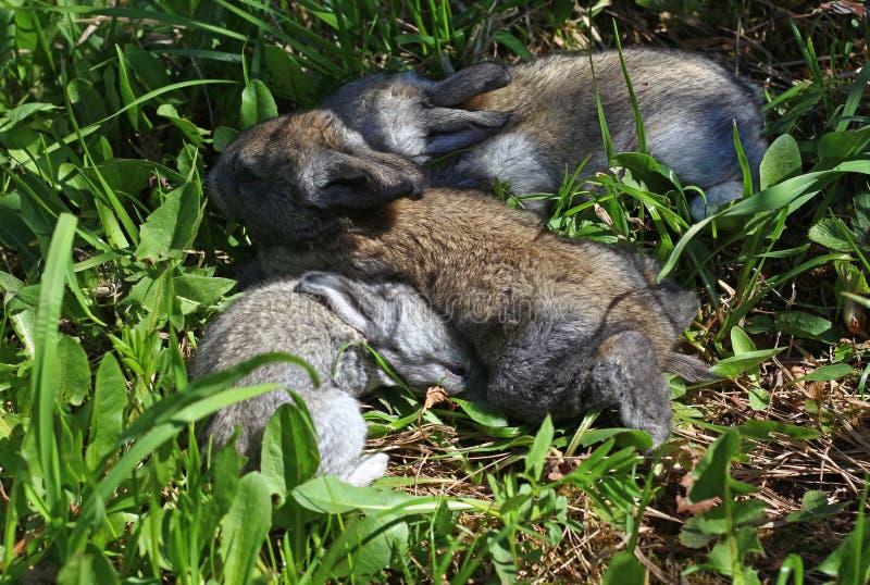 Drei graue Kaninchenjunge stockfotos