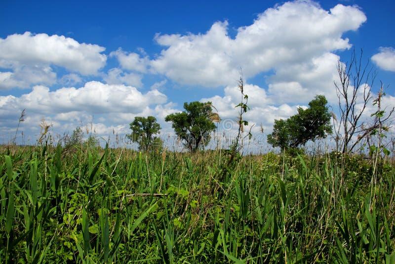 Drei große Bäume auf Grassfield lizenzfreie stockfotografie