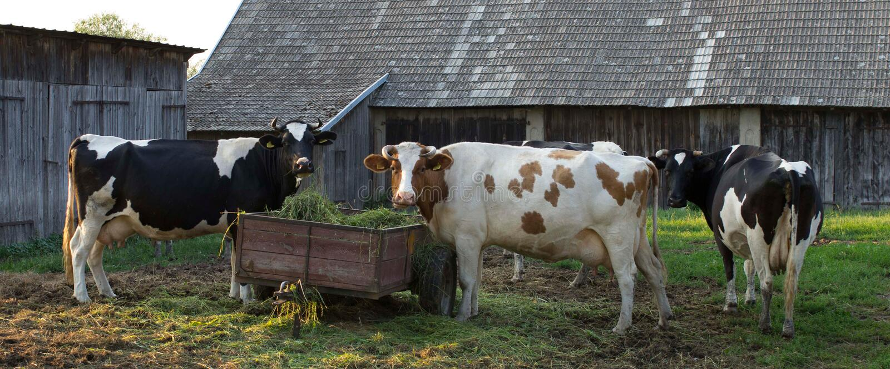 Drei große polnische Kühe lizenzfreies stockbild