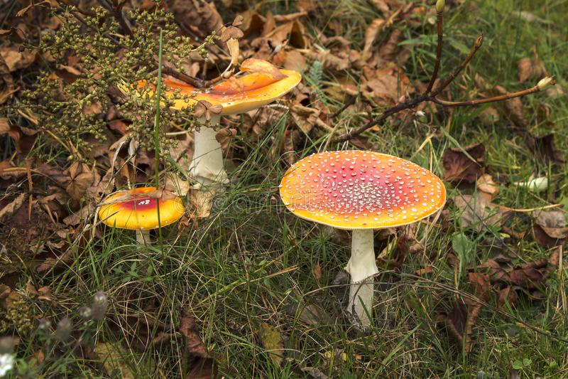 Drei große rote Giftpilze wachsen im Gras stockfotos