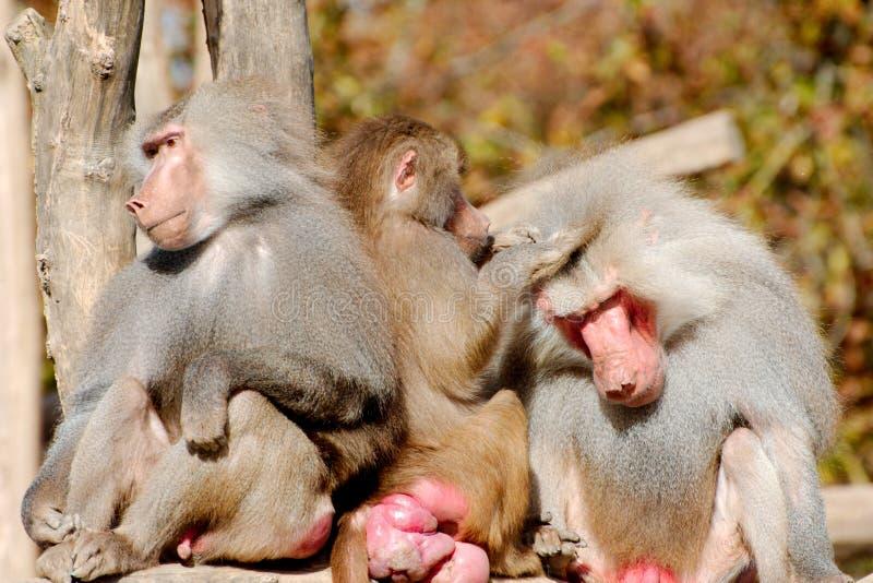 Download Drei Hamadryas-Paviane stockbild. Bild von pavian, primas - 90225201