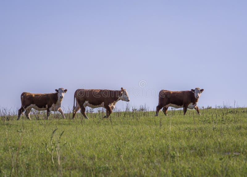 Drei Hereford-Kühe stockbild