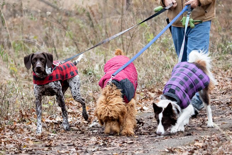 Drei Hunde mit Handler im Tageslicht im örtlichen Park lizenzfreies stockfoto