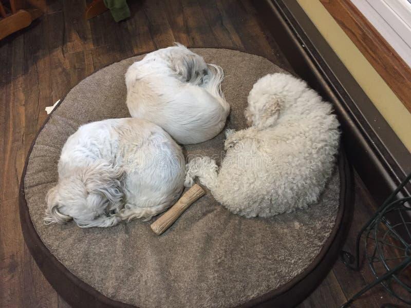 Drei Hundeschlafenauf Freunden eines runden Hundebetts zusammen Nickerchen machen stockfotografie