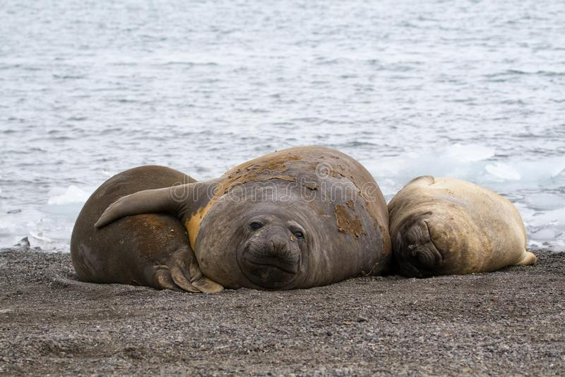 Drei jugendliches See-Elefanten Mirounga leonina, das auf dem Ufer in der Antarktis liegt lizenzfreies stockbild