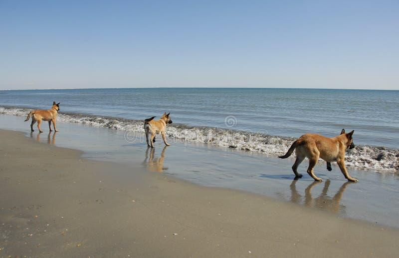 Drei junge malinois auf dem Strand lizenzfreie stockfotos