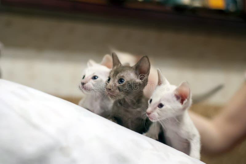 Drei Kätzchen Ägypter rauchig mit den grauen und blauen Augen lizenzfreie stockfotografie