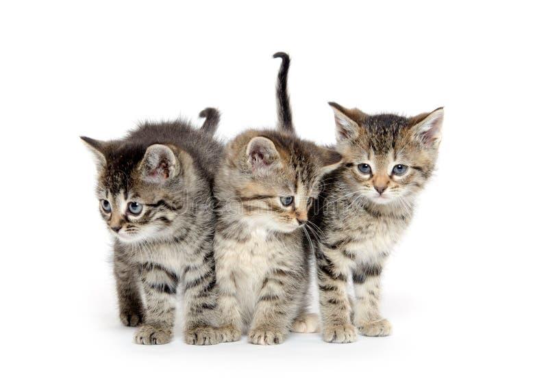 Drei Kätzchen der getigerten Katze lizenzfreies stockbild